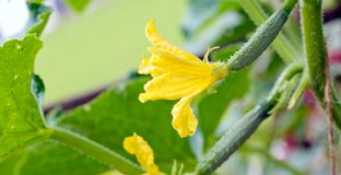 Growing cucumbers in the garden. Stock Photo