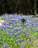 Growth of bluebonnets. Bluebonnets, the Texas state flower and a spring staple in the Texas hill country landscape, in bloom in a large natural garden setting stock photos