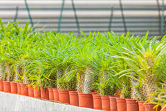 Growth of cacti in a greenhouse Stock Photos