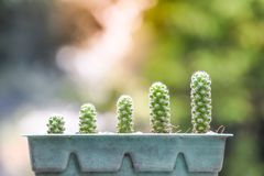 The growth of cactus in old green pots stock images