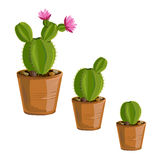 The growth cactus plants in pots Royalty Free Stock Image
