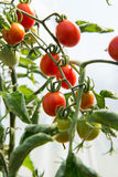 Growth cherry tomatoes Royalty Free Stock Photography
