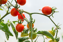 Growth cherry tomatoes Stock Images