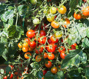 Growth cherry tomatoes Stock Photography