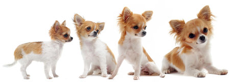Growth of chihuahua Royalty Free Stock Image