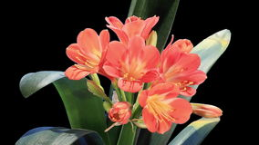Growth of Clivia flower buds ALPHA matte, FULL HD. (Clivia miniata) stock footage