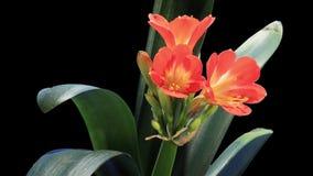 Growth of Clivia flower buds ALPHA matte stock video
