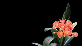 Growth of Clivia flower buds ALPHA matte, FULL HD Royalty Free Stock Photo