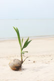 Growth of a coconut tree seedling by the beach Royalty Free Stock Images