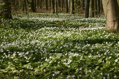 Growth colony of Anemone in the spring woods 5 Royalty Free Stock Photography