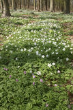 Growth colony of Anemone in the spring woods 3 Stock Images