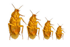 Growth concept of cockroach isolated on white background with cl vector illustration