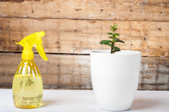 Growth concept - Watering the house plant with spray. On a white table on a wooden background royalty free stock image