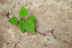 Growth in concrete focus on leaf. Growth green in concrete focus on leaf Royalty Free Stock Image