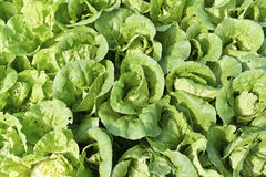 Growth of Cos Lettuce. Royalty Free Stock Images