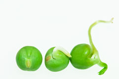 Growth Cycle. Conceptual shot of three peas in various growth stages Stock Photography