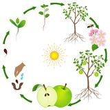 A growth cycle of an apple tree on a white background. A growth cycle of an apple tree on a white background, beautiful illustration Stock Image