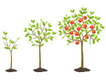 Growth cycle from seedling to fruit tree. Illustration for agricultural booklets, flyers garden.  Royalty Free Stock Photos