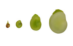 Growth. Fava beans isolated in line showing stages of growth Stock Photography
