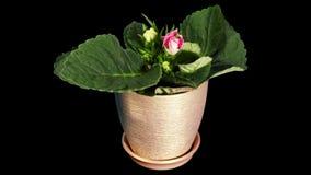 Growth of Gloxinia flower buds ALPHA matte stock video