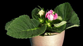 Growth of Gloxinia flower buds ALPHA matte, FULL HD Royalty Free Stock Photos