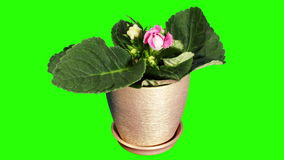 Growth of Gloxinia flower buds green screen, FULL HD Royalty Free Stock Photo