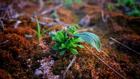 The Growth of Green Plant  from the Soil. The nature of plant growth Royalty Free Stock Photo