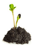 The growth of green plants. Growth concept and restart Stock Photography