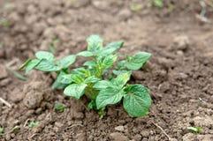 Growth green potato Royalty Free Stock Image