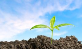 Growth. Gardening seedling plant beginnings cultivated dirt Royalty Free Stock Image