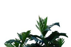 Breadfruit plant with leaves branches on white isolated background for green foliage backdrop royalty free stock photography