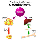 Growth hormone or somatotropin or somatropin. Physiologic Effects of Growth Hormone. Direct and indirect effects Stock Images