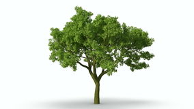 Growth of large green tree white mask. stock footage