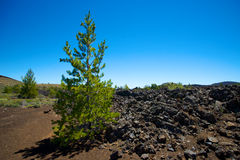 Growth in Lava Fields Stock Photo