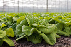 Growth of lettuce inside a greenhouse Royalty Free Stock Photos