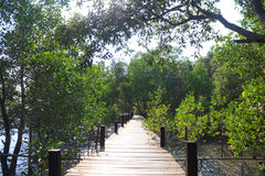 Growth mangrove, forest Stock Images