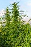 Growth of marijuana Royalty Free Stock Photo
