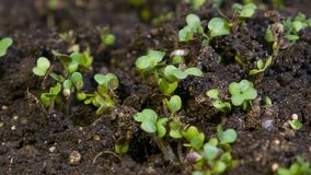 Growth microgreens, timelapse video filming. stock footage
