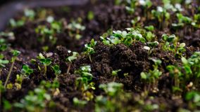 Growth microgreens, timelapse video filming. stock video footage