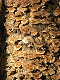 Growth of mushrooms on trunk of a tree Stock Photos