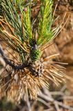 Green needles of pine on the dried branch. Bright royalty free stock photography