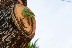 The growth new limb of tree species on the timber.  Royalty Free Stock Image