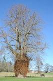 Growth on old tree. An abnormal growth at the base of the trunk of an old tree Stock Photo