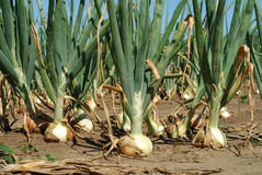 Growth Onion Royalty Free Stock Image