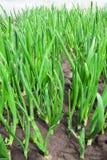 Growth onion Stock Photo