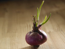 Growth onion Royalty Free Stock Photos