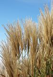 Chinese silver grass. Growth of ornamental chinese silver grass Miscanthus sinensis royalty free stock photography