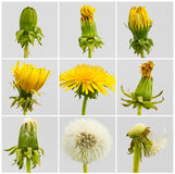 Growth period. Of a dandelion Stock Photo