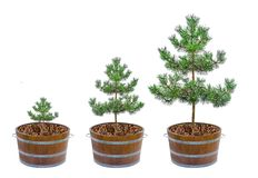 Growth of pines royalty free stock photos