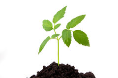 Growth  plant Stock Photography